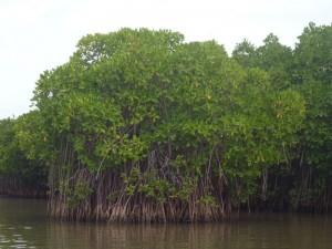 La mangrove de Pichavaram